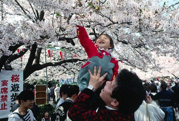Hanami, Festival de la flor de cerezo