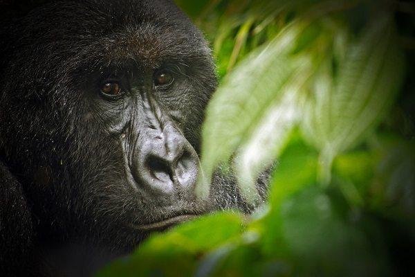 Parque Nacional de Virunga (Congo)