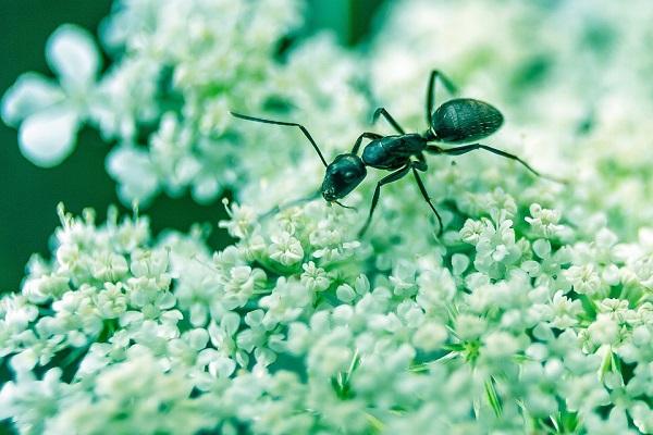 En Islandia no hay hormigas