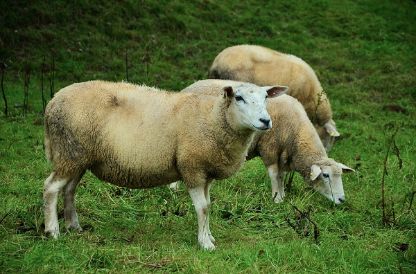 En Islandia las ovejas doblan en número a sus habitantes